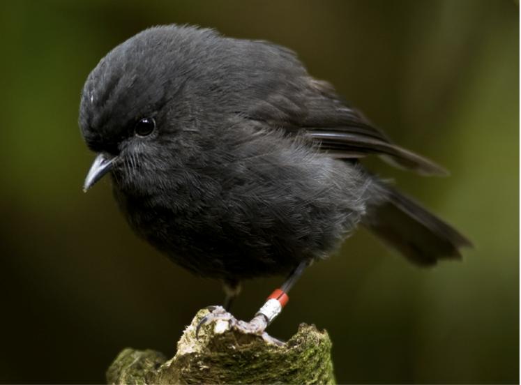 black robin.png