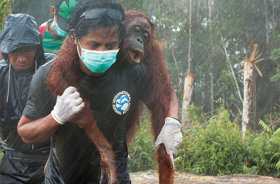 borneo-orangutan-rescue.jpg