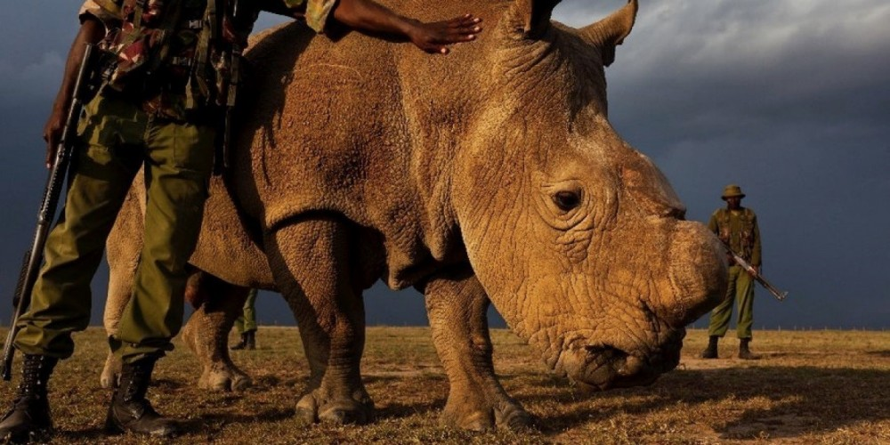 sudan-rhino