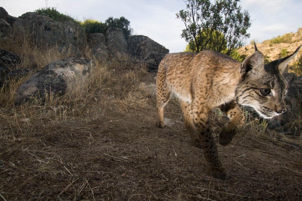 Lynx camera trap.jpg